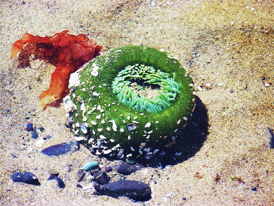 Anemone Photograph - Sea Anemone by Julie Rauscher