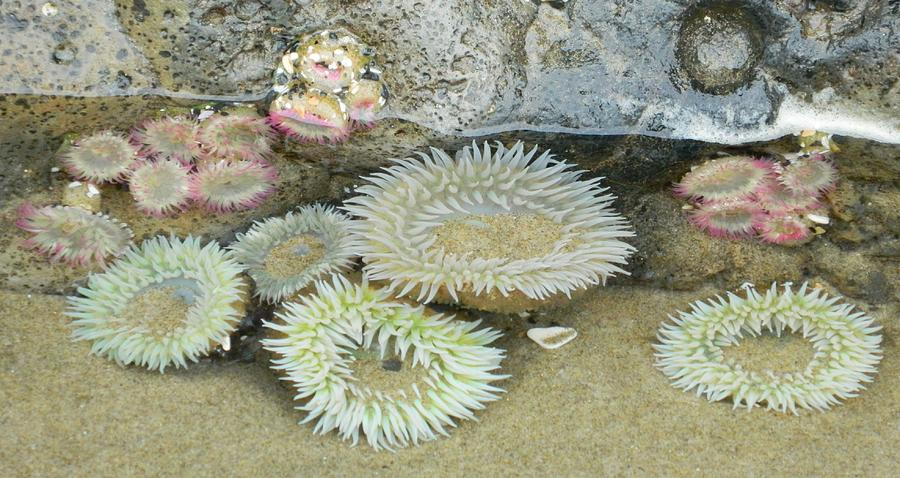 Oregon Photograph - Sea Anemones by Gallery Of Hope
