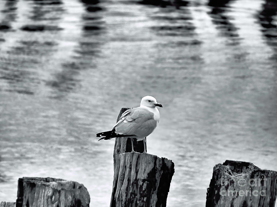 Sea Gull Black And White Photograph