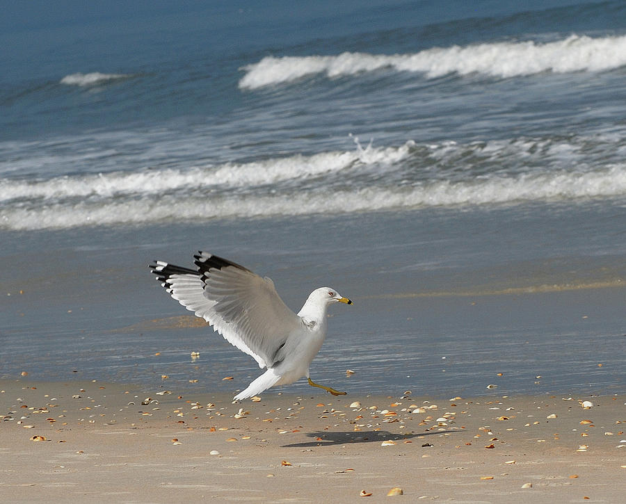 Sea Gull Landing Photograph by David Campione