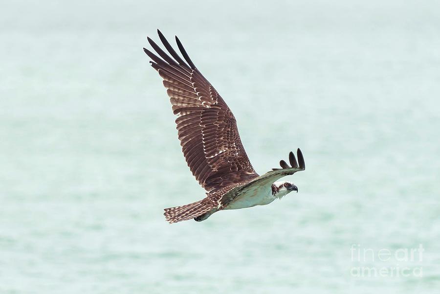 Seahawk Photograph - Sea Hawk by Sunman
