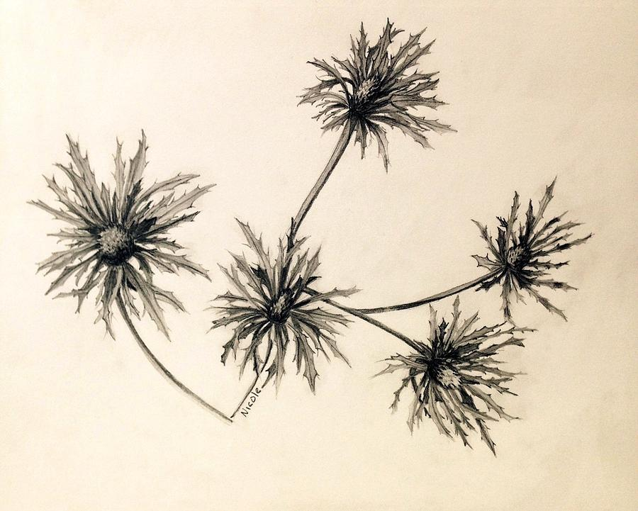 sea holly drawing by nicole curreri