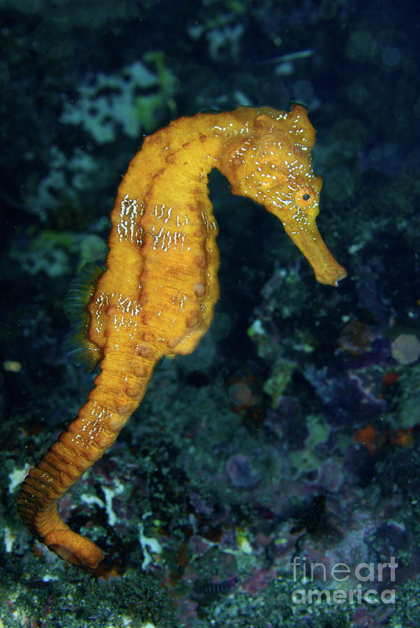 Loneliness Photograph - Sea Horse Underwater View by Sami Sarkis