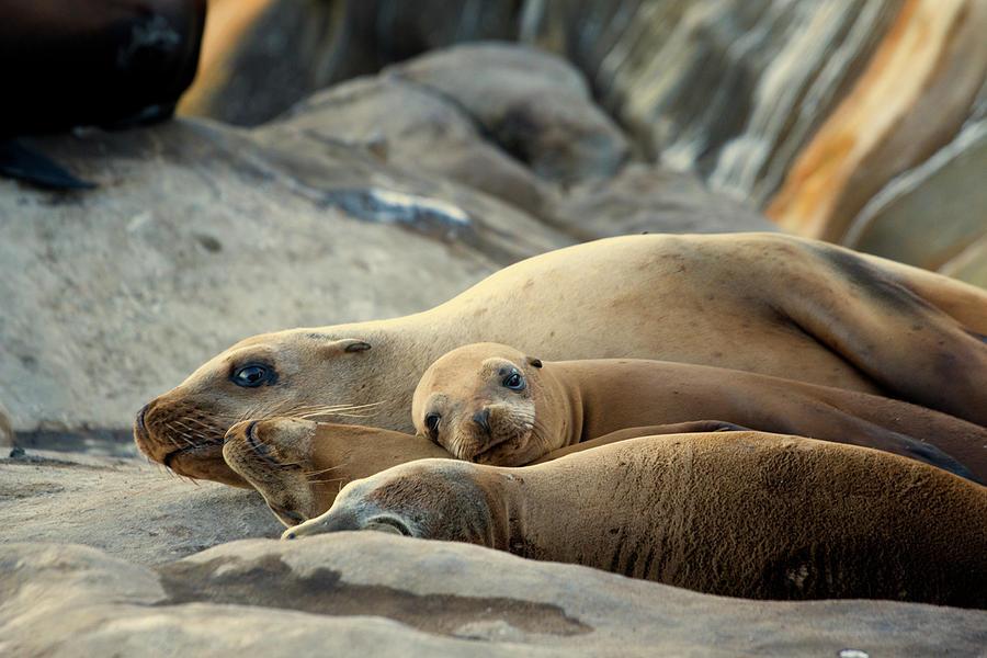 Sea Lion Family by Mike Trueblood