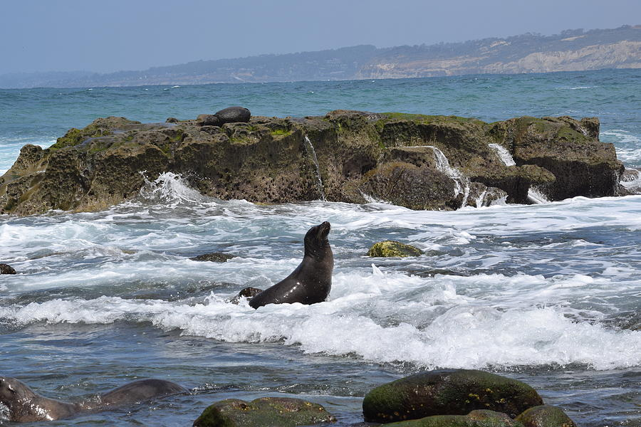 Sea Lion In The Surf Photograph