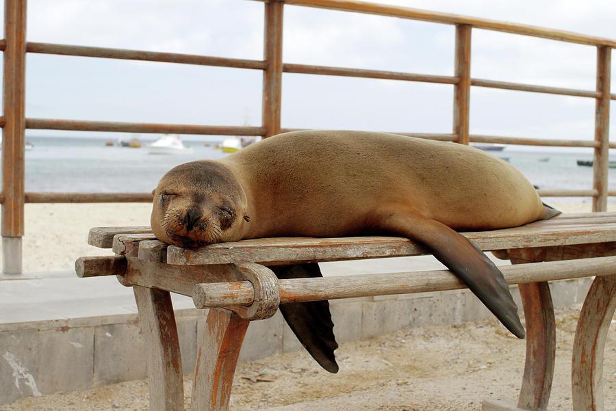America Photograph - sea lion on a bench in Puerto Ayora, Santa Cruz Island, Galapagos by Mihaela Nica