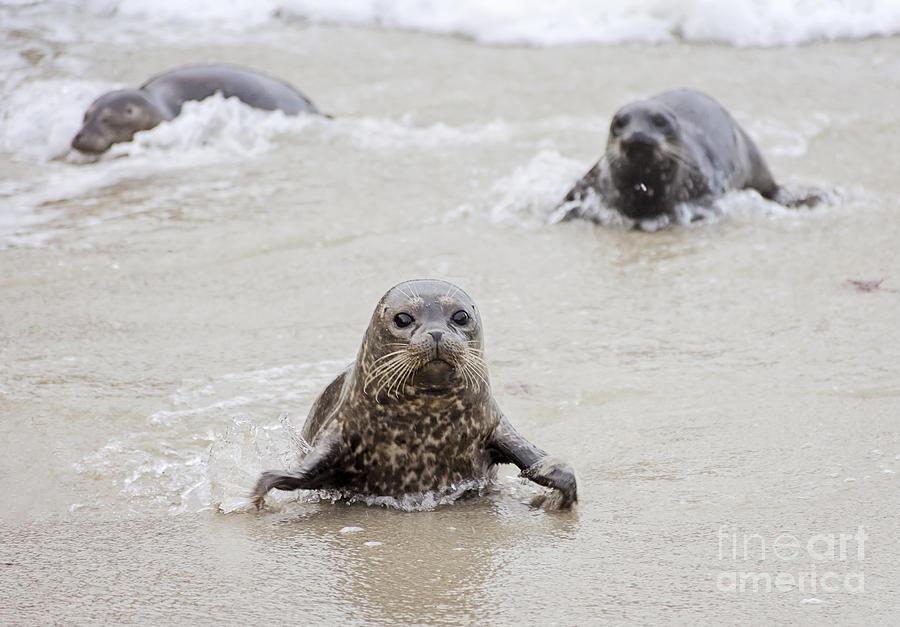 Sea Photograph - Sea Lion Pup by Eddie Yerkish