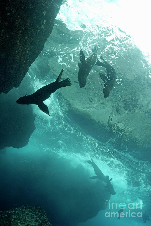 Freedom Photograph - Sea Lions by Sami Sarkis