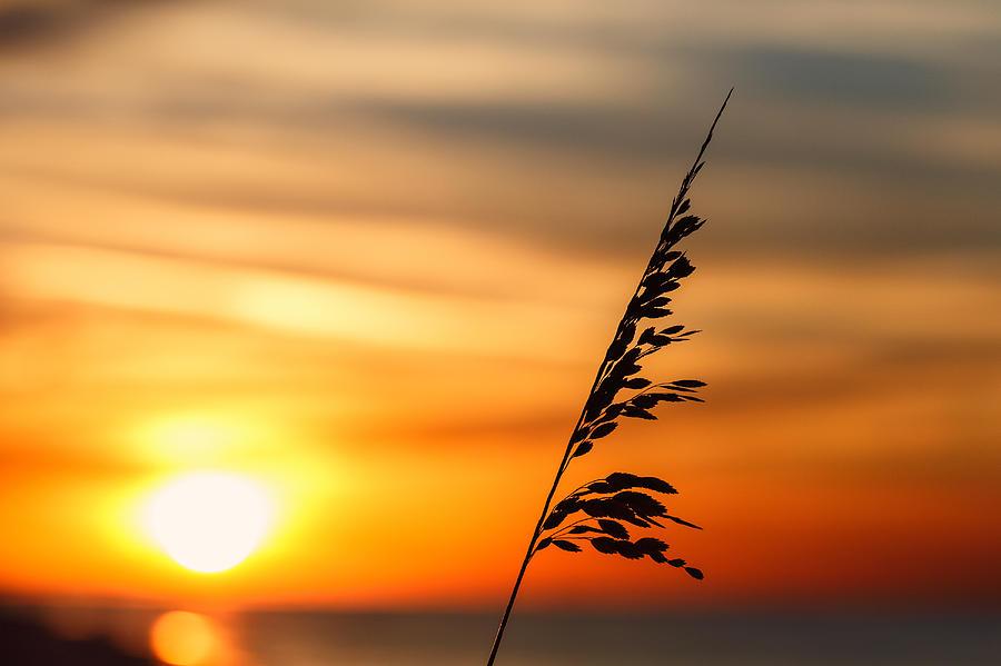 Sea Oat Summer Photograph