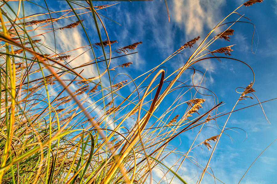 Sea Oats Photograph
