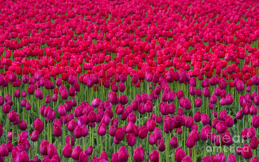 Tulips Photograph - Sea Of Tulips by Mike  Dawson