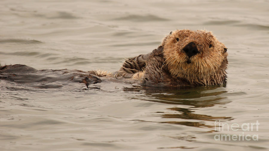 Otter Photograph - Sea Otter All Cuddled Up by Max Allen