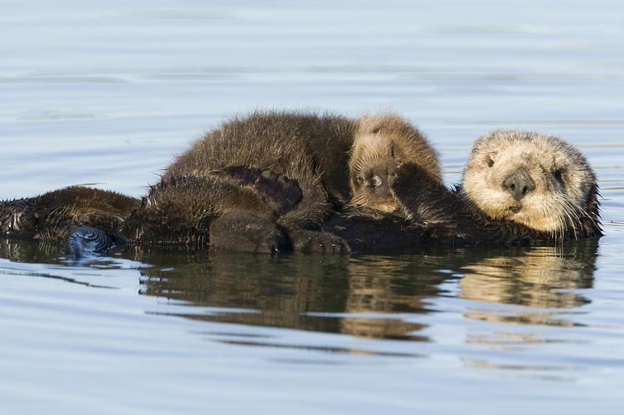 Sea Otter Mother And Pup Elkhorn Slough Photograph by Sebastian Kennerknecht
