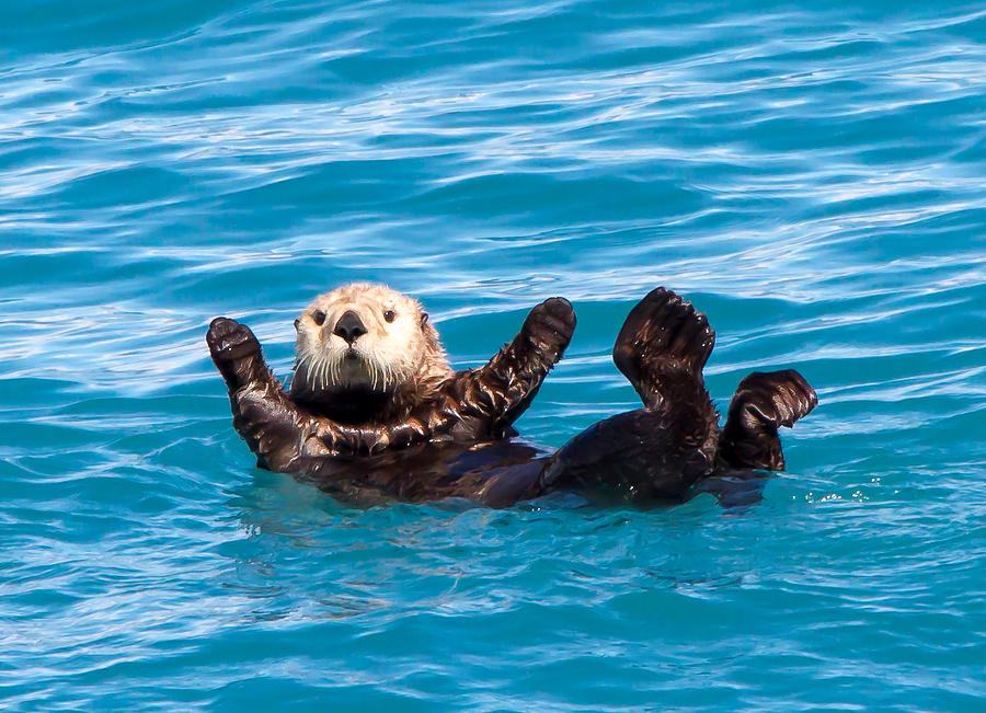 Sea Otter Photograph By Phil Stone