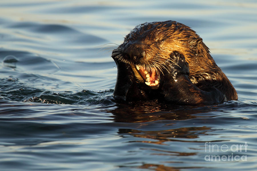 Natural Photograph - Sea Otter With A Toothache by Max Allen