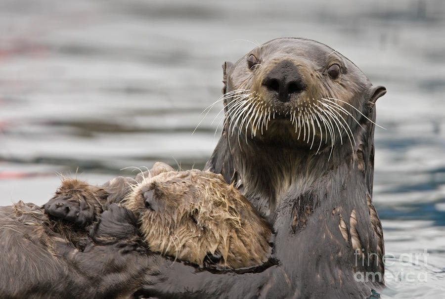 Sea Otter Photograph - Sea Otters by Tim Grams
