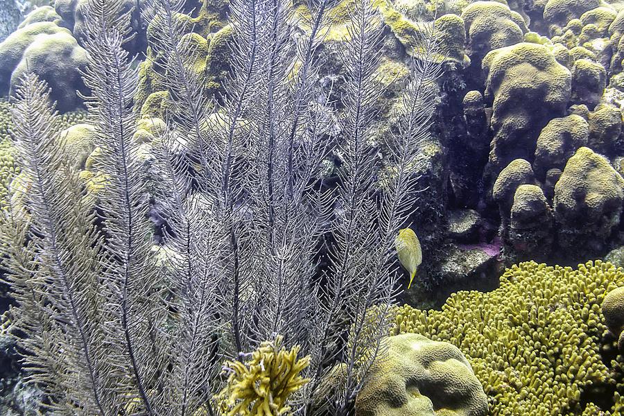Sea Plumes Coral 2 by Perla Copernik