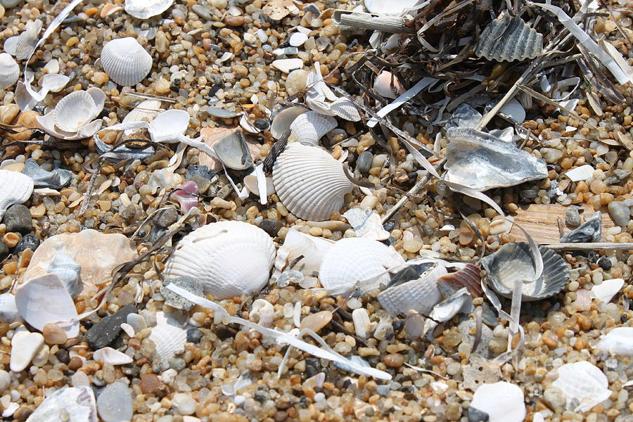 Beach Photograph - Sea Ribbons And Shells by Marcie Daniels