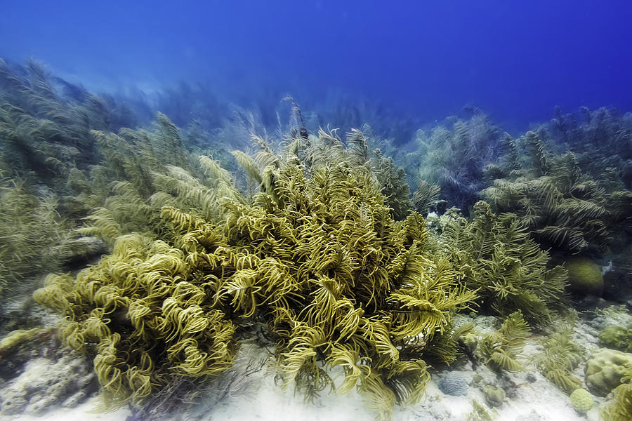 Sea Rod Corals  by Perla Copernik