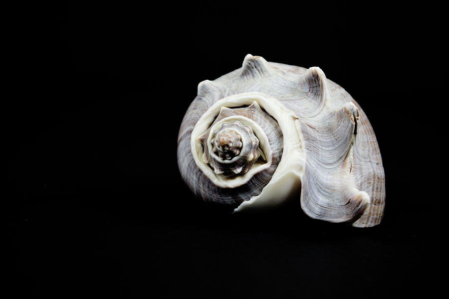 Objects Photograph - Sea Shell by Susan Newcomb