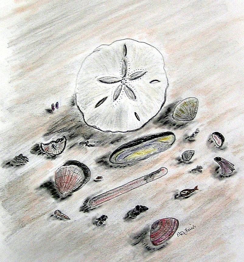 Sand Dollar Drawing - Sea Shells by Diane Frick