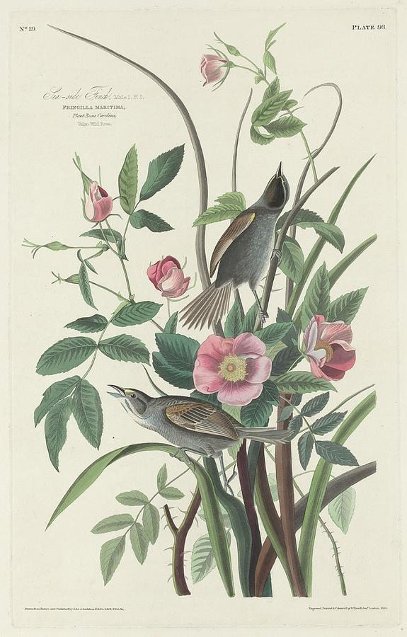 Audubon Drawing - Sea-side Finch by Dreyer Wildlife Print Collections