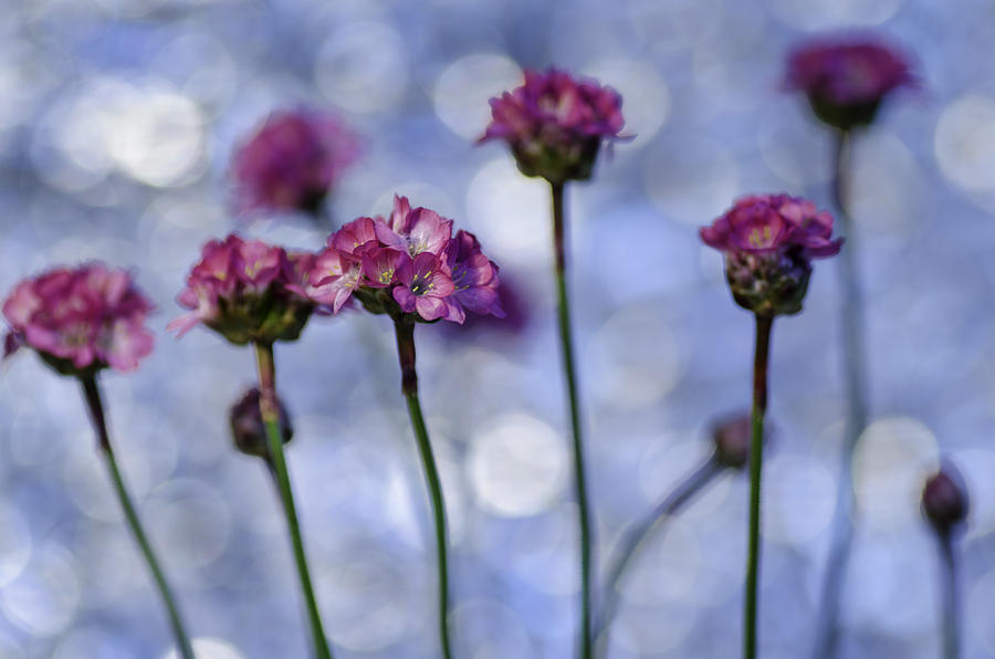 Flowers Photograph - Sea Thrift Blossoms by Rod Sterling