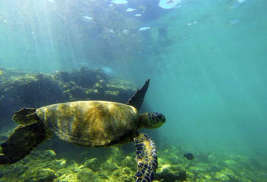 Sea Turtle Photograph - Sea Turtle #5 by Anthony Jones