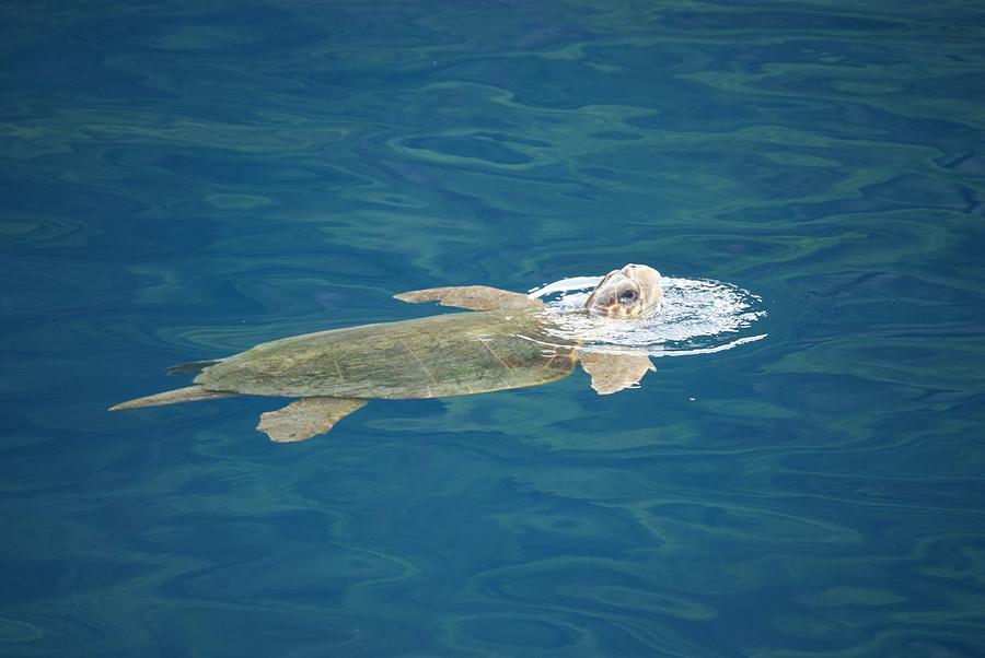 Sea Turtle Photograph - Sea Turtle by AJ Harlan