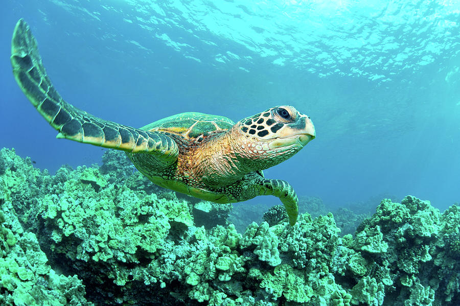 Horizontal Photograph - Sea Turtle In Coral, Hawaii by M Sweet