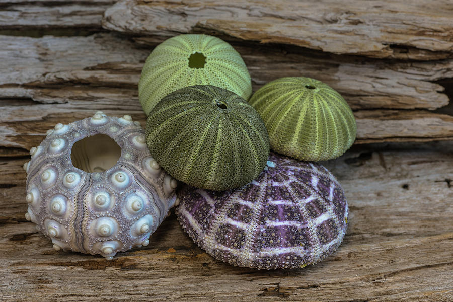 Sea Urchin Collection by Randy Walton