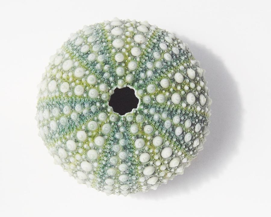 Sea Urchin by Jocelyn Friis