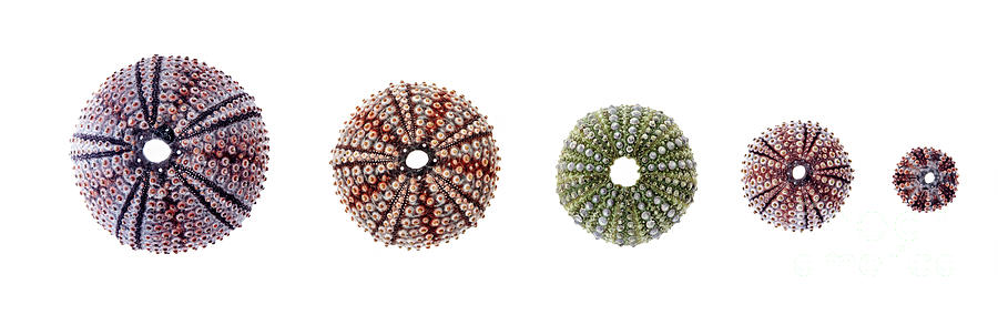 Sea Urchin Photograph - Sea Urchins Of Various Sizes by Elena Elisseeva