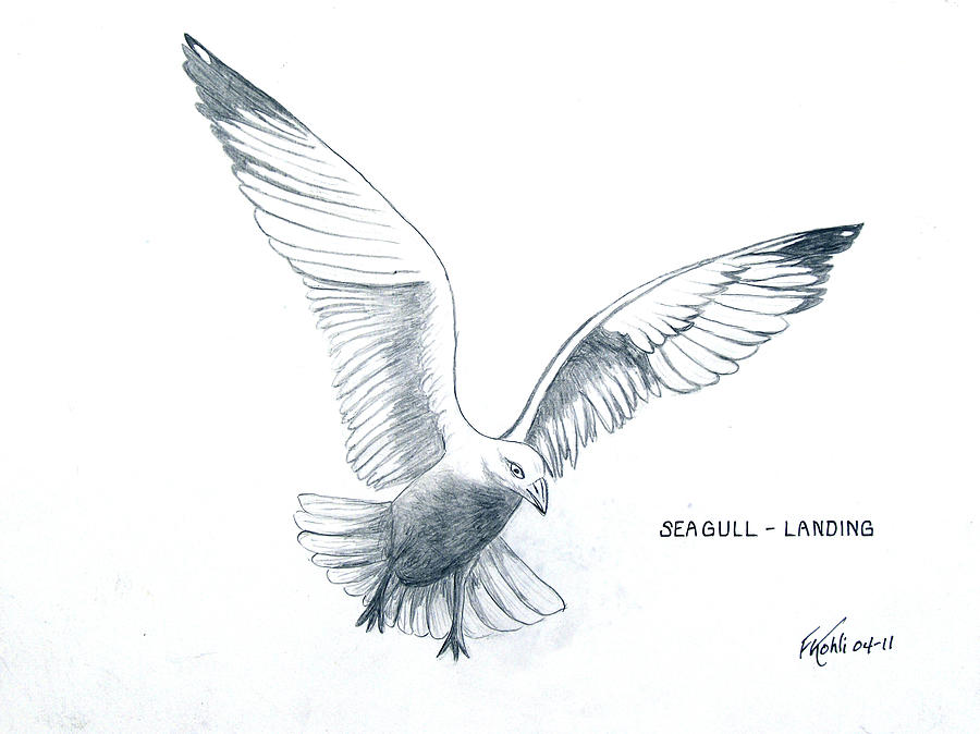Pencil Drawing Drawing - Seagull - Landing by Frederic Kohli