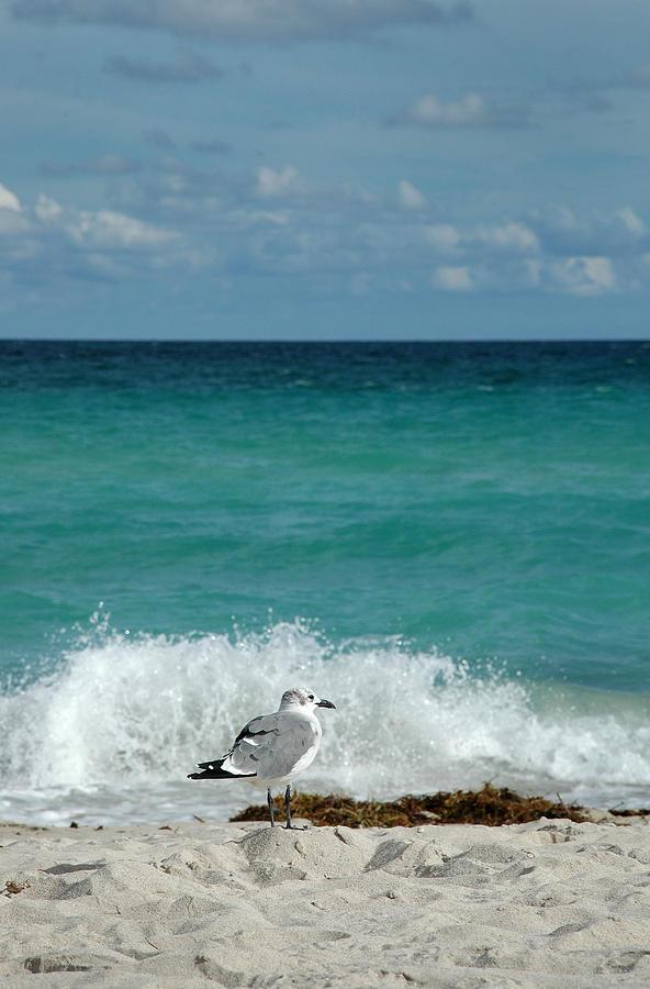 Seagull Photograph - Seagull - South Beach Miami by Frank Mari