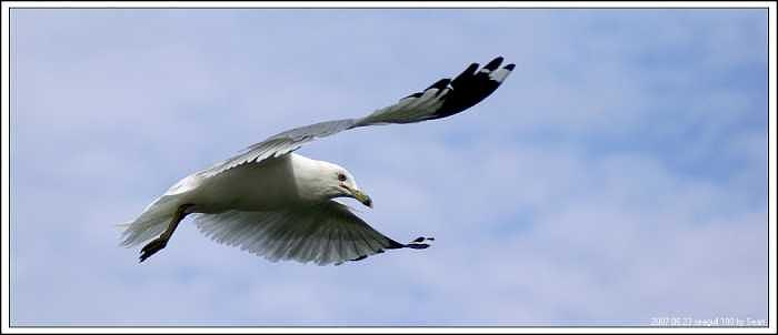 Seagull Photograph - Seagull-3 by Sean Xiao