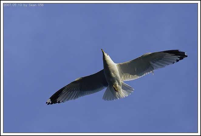 Seagull Photograph - Seagull-7 by Sean Xiao