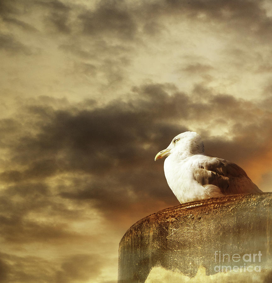 Seagull by Adriana Zoon