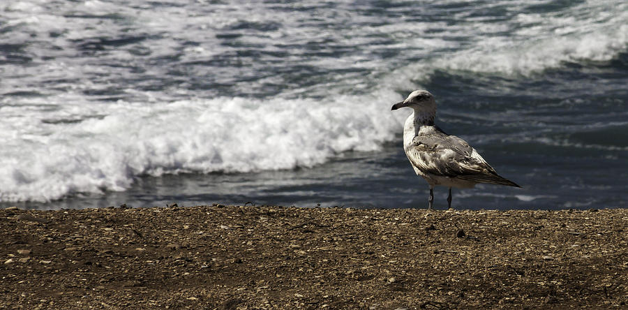 Seagull Photograph - Seagull At The Beach by Donna Miller