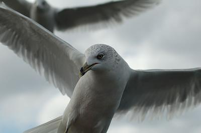 Florida Photograph - Seagull by Bruce Larson