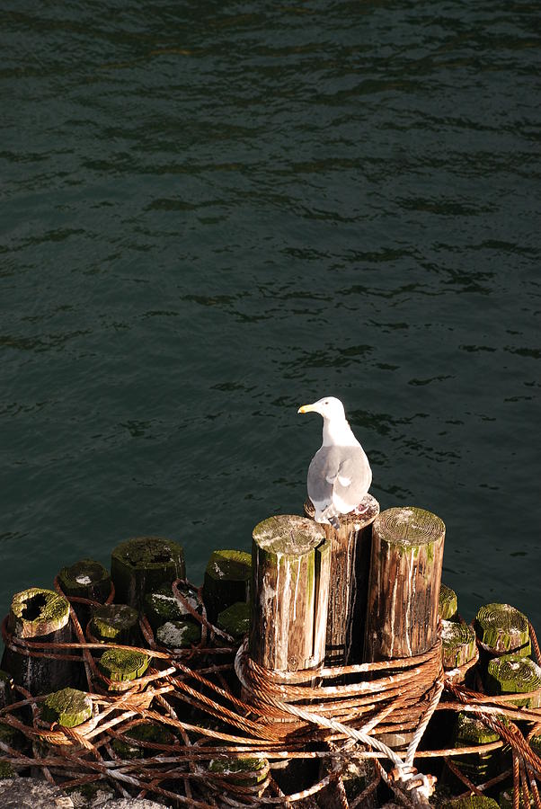 Seagull Photograph - Seagull  by Carol  Eliassen
