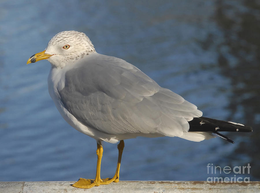 Seagull Photograph - Seagull by David Lee Thompson