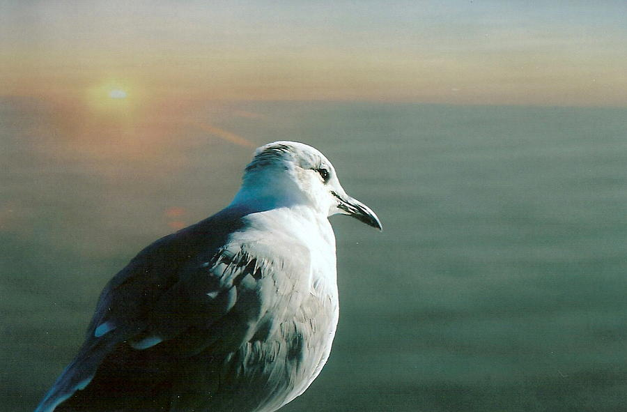 Birds Photograph - Seagull by David Ross