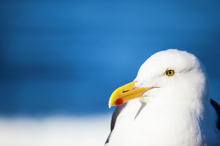 Seagull Photograph - Seagull Face Profile Close Up by Lawrence Matez