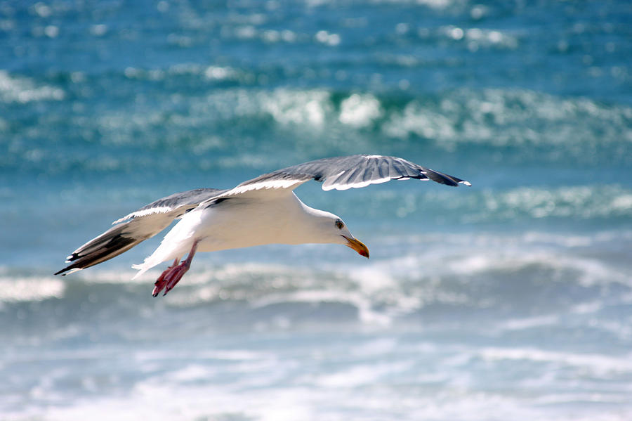 Nature Photograph - Seagull Flight by Stormshade Designs