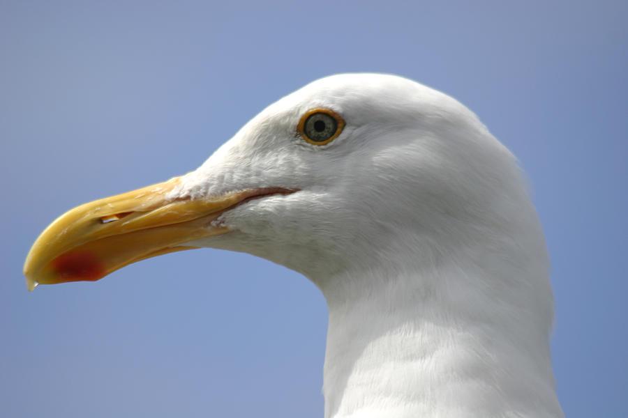 Seagull Photograph - Seagull by Hans Jankowski