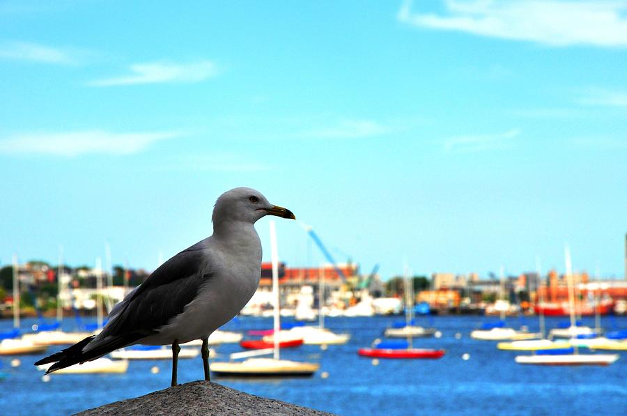 Seagull Photograph - Seagull In Boston Harbor by Andrew Dinh