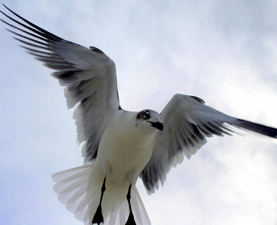 Seagull in Flight I by Jeanne Forsythe