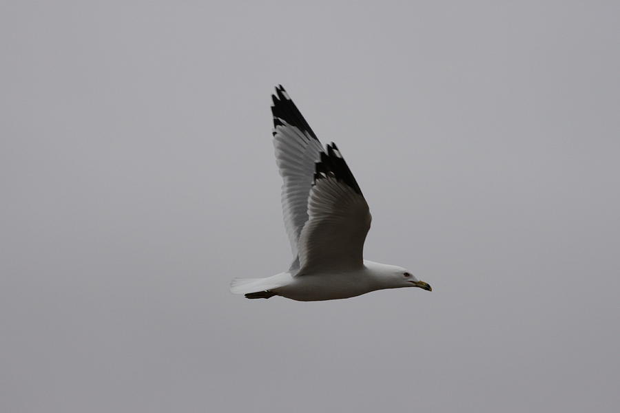 Seagull Photograph - Seagull In Flight by Richard Mitchell