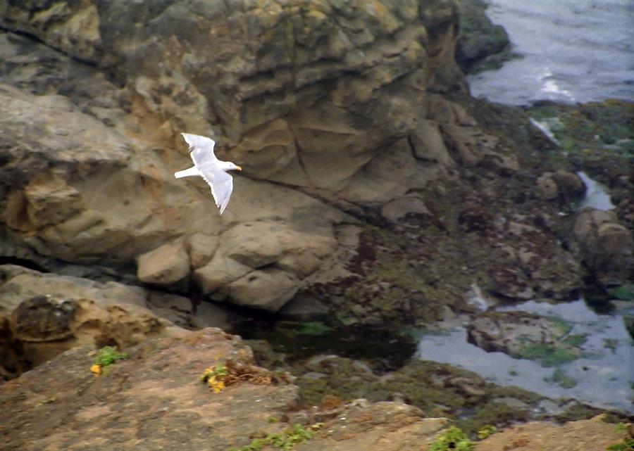 Seagull Photograph - Seagull In Flight by Steve Ohlsen